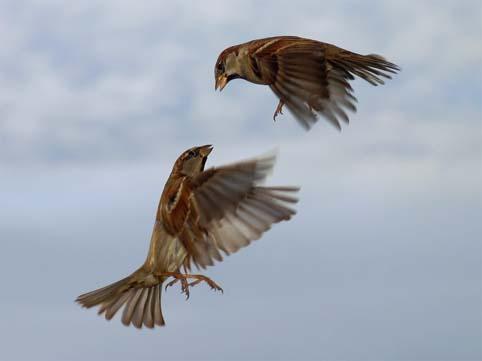 Spatzen-fliegen in