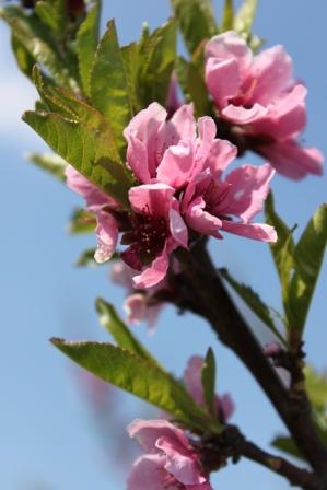 Pfirsichbluete Pfirsichbaum in