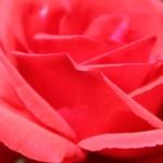 Rose_Rosarium_Baden