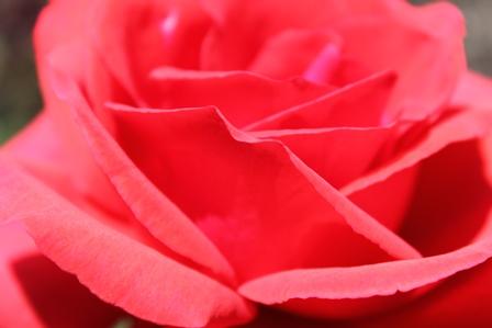 Rose Rosarium Baden in