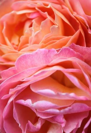 Rosen Liebe in