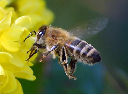 Bienen2 in