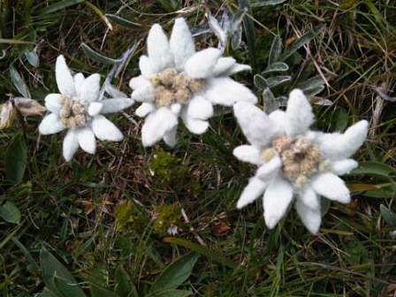 Edelweiss in 