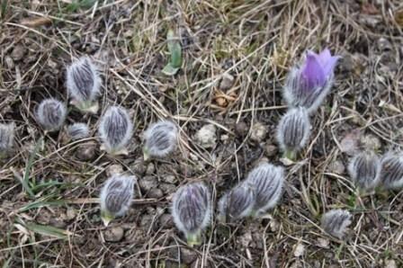 Kuhschelle Fruehlingsblume in