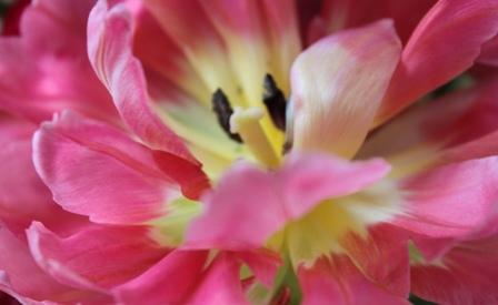 Tulpe Leben in