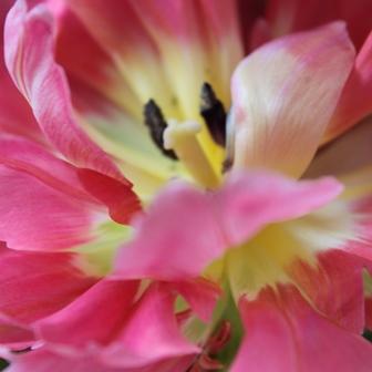 Wuensche Tulpe in