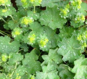 """Alchemilla mollis – vielleicht findet auch der weiche Frauenmantel, bekannt als Himmelsträne, den die Alchemisten einst zur Herstellung von """"himmlischem Wasser"""" verwendeten, in deinen Garten?"""